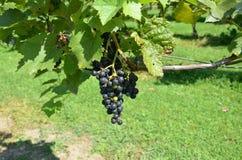 Sur la vigne Photographie stock
