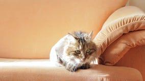 Sur le divan repose un chat gris rasé se dorant au soleil Concept des soins des animaux clips vidéos