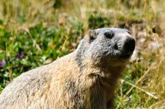 Sur le regard à l'extérieur de la marmotte photographie stock libre de droits
