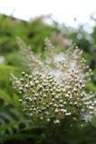 Sur le schénanthe de floraison dans le jardin de la grand-mère photographie stock libre de droits