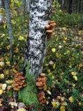Sur le tronc de l'arbre de bouleau cultivez les agarics comestibles de miel de champignons Image stock