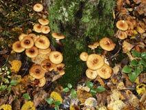 Sur le tronc de l'arbre de bouleau cultivez les agarics comestibles de miel de champignons Photographie stock libre de droits