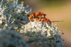 Sur les belles fleurs blanches sont deux scarabées dans la chaleur Photo libre de droits