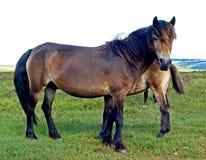 Sur les poneys d'Exmoor d'amarrage Photo stock