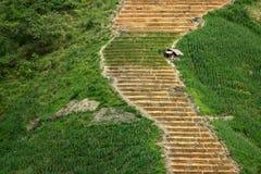 Sur les terrasses escarpées de riz, est une hutte isolée Photos libres de droits