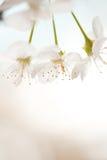 Sur makro för körsbärsröd blomning Arkivbilder