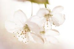 Sur makro för körsbärsröd blomning Arkivfoto