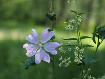 Sur un pré ensoleillé, une fleur magique Photo libre de droits