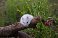 Sur un rondin le hamster de Dzhungar photos stock