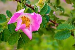Sur une branche d'une rose sauvage élève une fleur rose lumineuse, un PS chaud Images libres de droits