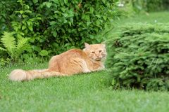 Sur une herbe verte le chat rouge a un reste Photos stock