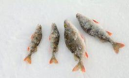 Sur une pêche de perche Image libre de droits