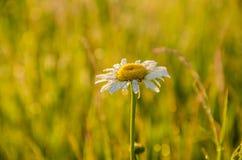 Sur une pelouse verte le matin brumeux tôt photo libre de droits