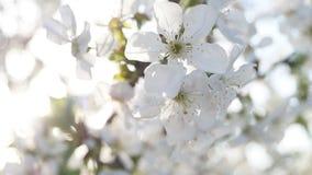 Sura blomningar för körsbärsrött träd arkivfilmer