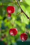 sura Cherry Royaltyfria Bilder