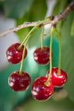 sura Cherry Fotografering för Bildbyråer
