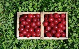 Sura cherrys för plockningPrunuscerasus Royaltyfria Bilder