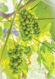 Sura gröna druvor Fotografering för Bildbyråer