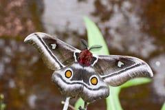 The Suraka Silk Moth (Antherina suraka) in Ranomafana national p Royalty Free Stock Image