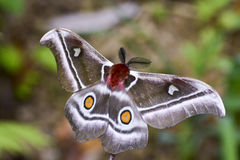 The Suraka Silk Moth (Antherina suraka) in Ranomafana national p Stock Photo