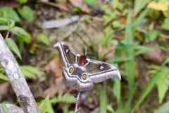 The Suraka Silk Moth (Antherina suraka) in Ranomafana national p Royalty Free Stock Photo