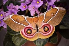 Suraka silk moth, Antherina suraka, on purple flowers of African violet royalty free stock photo