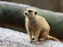 Surakat allo zoo di Singapore Fotografia Stock
