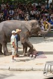 SURAT THANI PROVINCE, THAILAND, FEBRUARY 12: The elephant show a Royalty Free Stock Photography