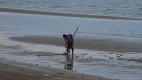Thai man people use rake digging find shellfish on beach in Surat Thani, Thailand stock video footage