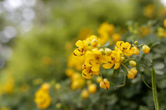 Surattensis. Yellow flower and green leaf Stock Images