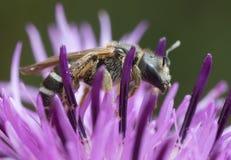 Surco-abeja de Downland, compressus de Halictus en centaurea Foto de archivo libre de regalías