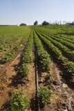Surcos de las fresas en Elyachin, Israel Imágenes de archivo libres de regalías