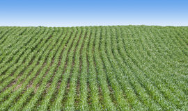 Surcos del campo con las plantas verdes Foto de archivo libre de regalías