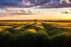 Surcos del trigo joven en la puesta del sol Imagen de archivo libre de regalías