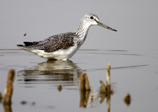 Sure Redshank stock images