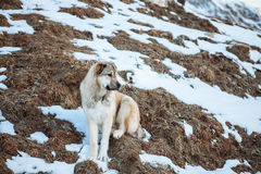 Surefire Svan dog in the mountains of Caucasus Stock Images
