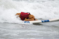 Surf Board Surfer Dog. Surfing dog rides the waves on a surf board as it competes in dog surfing sports championships in Southern California stock photos