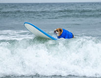 Surf Board Surfer Dog. Surfing dog rides the waves on a surf board as it competes in dog surfing sports championships in Southern California Royalty Free Stock Photography