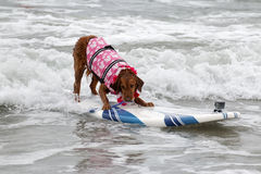 Surf Board Surfer Dog Stock Image