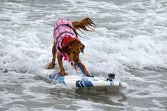 Surf Board Surfer Dog Stock Images