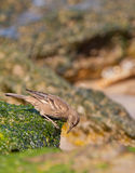 Surf Cinclodes Bird Stock Images