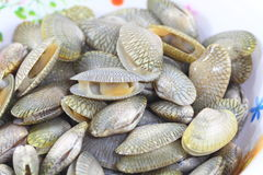 Surf Clam Stock Photography