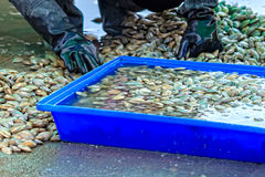 Surf Clams Cleaning Stock Images