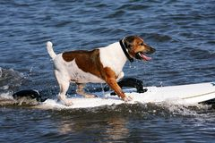 Surf dog Stock Photography