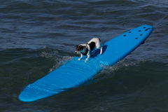 Surf doggie Royalty Free Stock Images