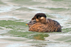 Surf Scoter Royalty Free Stock Image