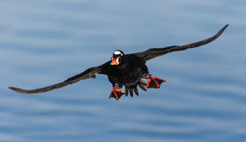 Surf Scoter. An image of a flying Surf Scoter Stock Photos