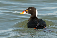 Surf Scoter. Male Surf Scoter floating in the Ocean Royalty Free Stock Photo
