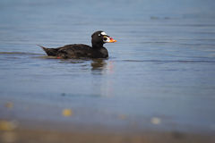 Surf Scoter Stock Photography