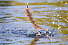 Surf and spray perch fishing Royalty Free Stock Photo